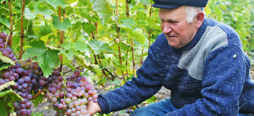Шиндер з Гальжбіївки вирощує дві сотні сортів винограду і радить пити тільки сухе вино - фото 1