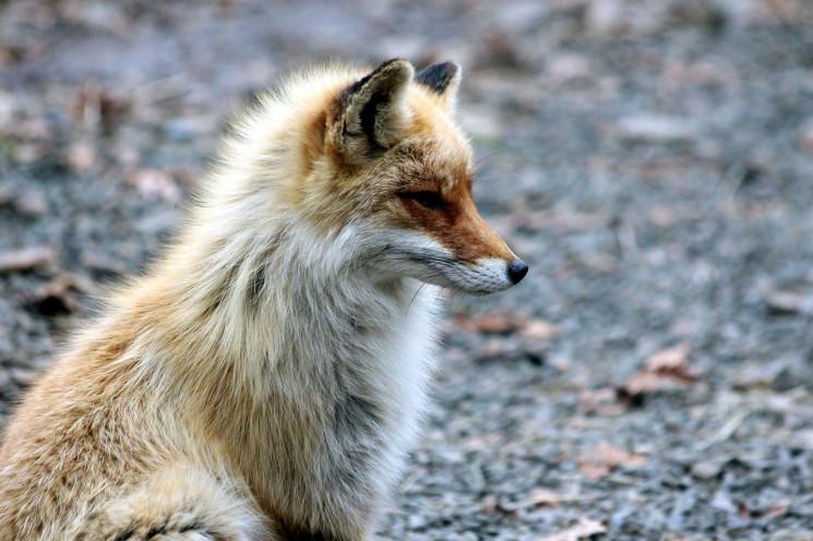 На Трасі здоров'я бігала лисиця…