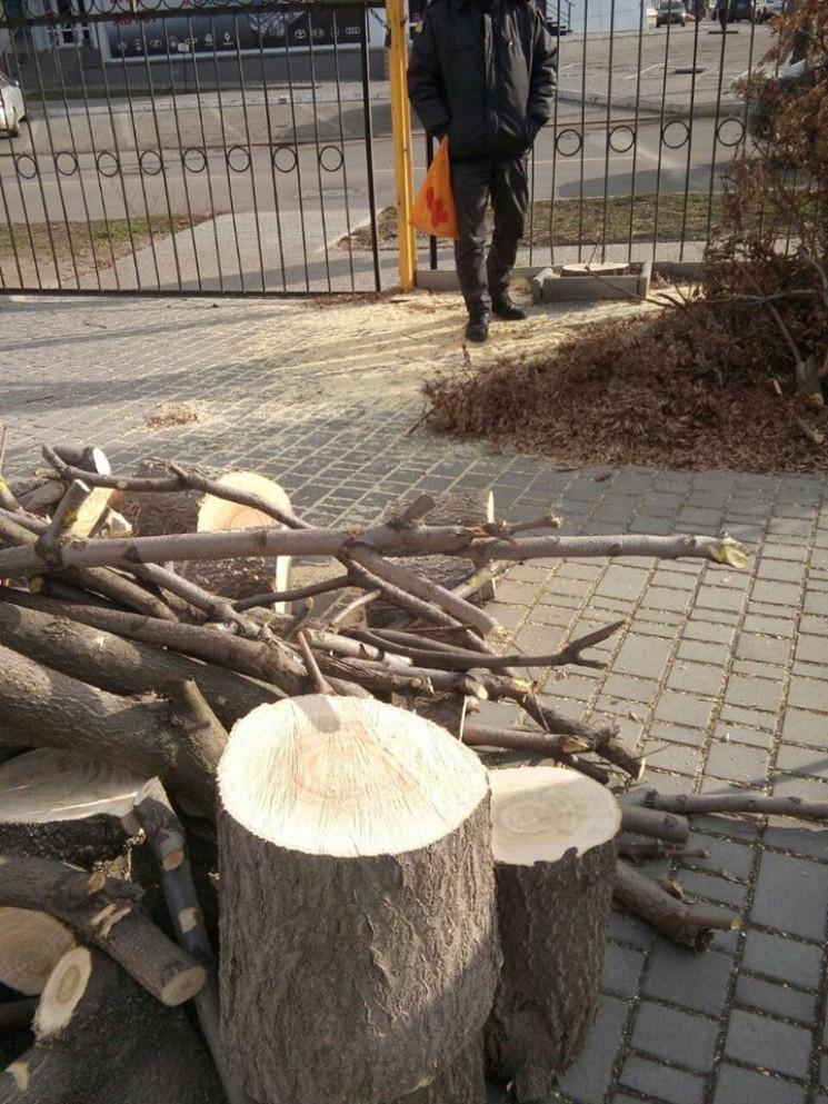 Замість дерев - два пеньки: У Кропивниць…