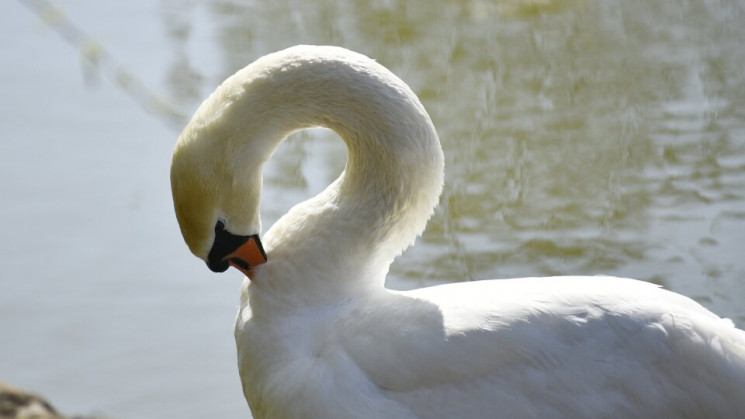 На Хмельниччині рятували лебедів із криж…