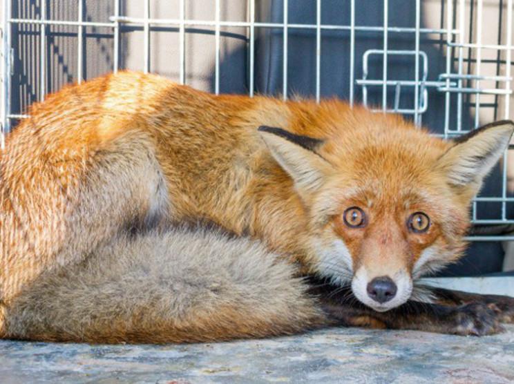 У Сумах упіймали скажену лисицю…
