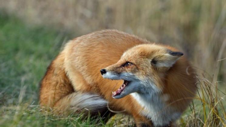 На Ужгородщине обнаружили бешеную лису…