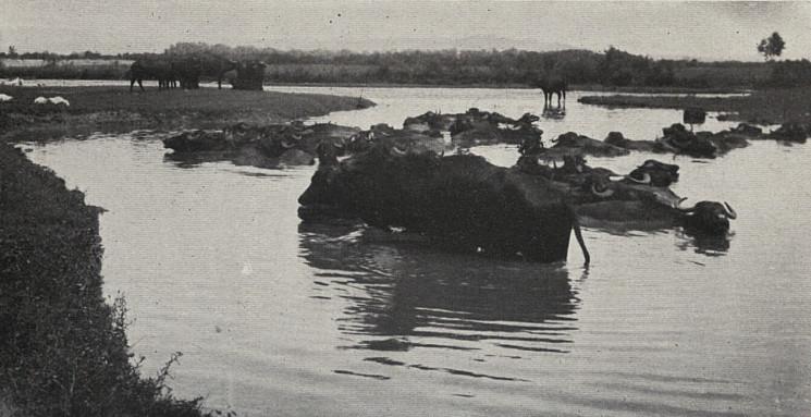 Як закарпатці випасали буйволів майже ст…
