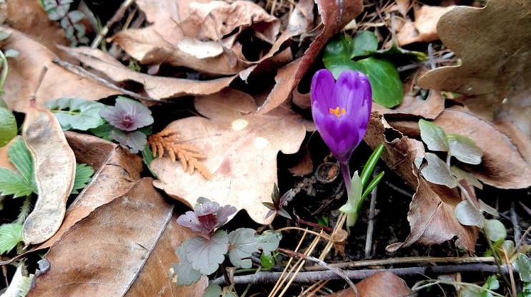 Квіти у лютому: На Закарпатті починають…