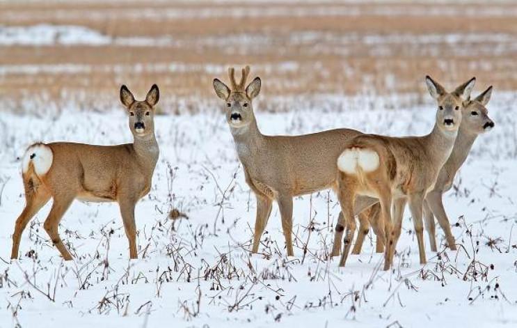 У лісах Новоушиччини водяться зайці, коз…