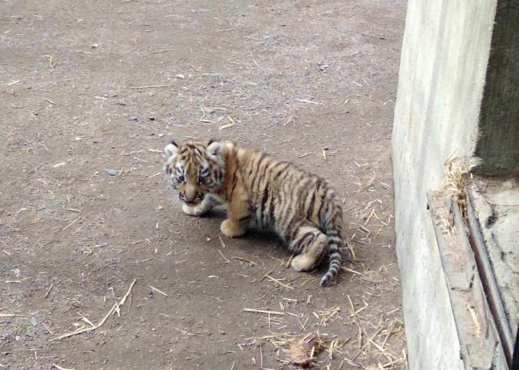 В Одеському зоопарку у пари амурських ти…