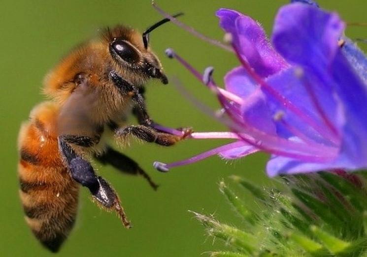 Як люди: Бджоли з різних регіонів не роз…