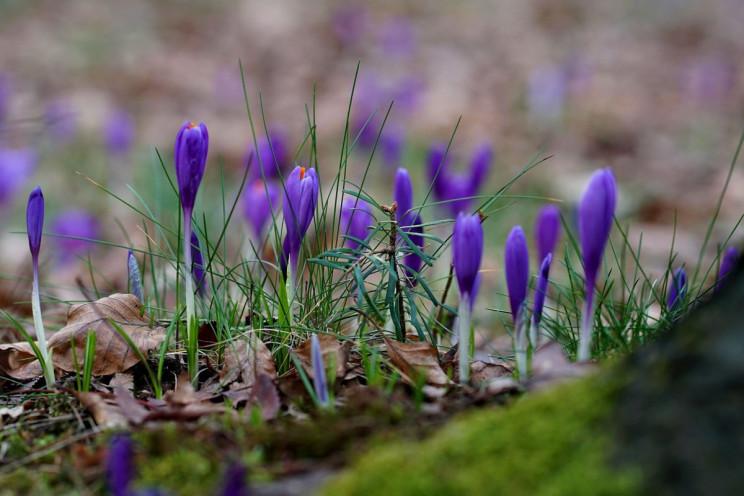 На Закарпатті масово цвітуть шафрани…
