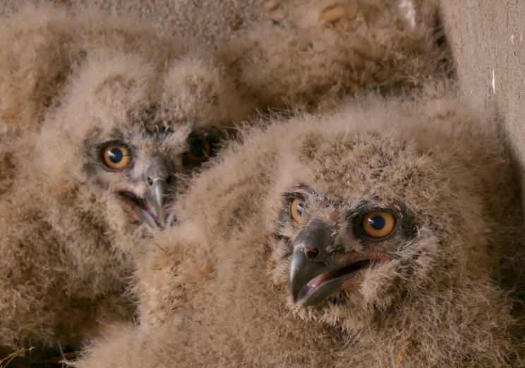У пары филинов в Одесском зоопарке вылуп…