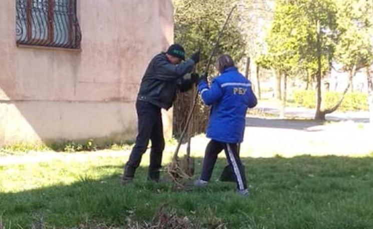 У Мукачеві висаджують катальпи та липи…