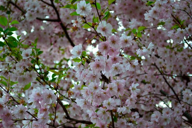 У запорізькому ботанічному саду квітне с…