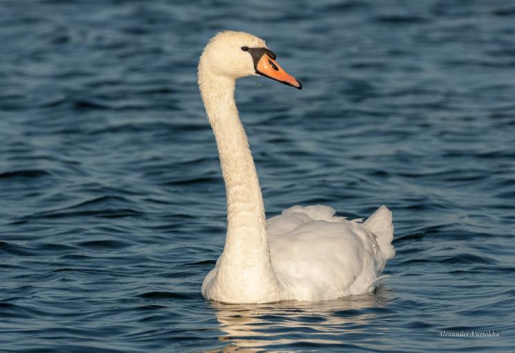 В Кривом Роге переживают за лебедя-одино…