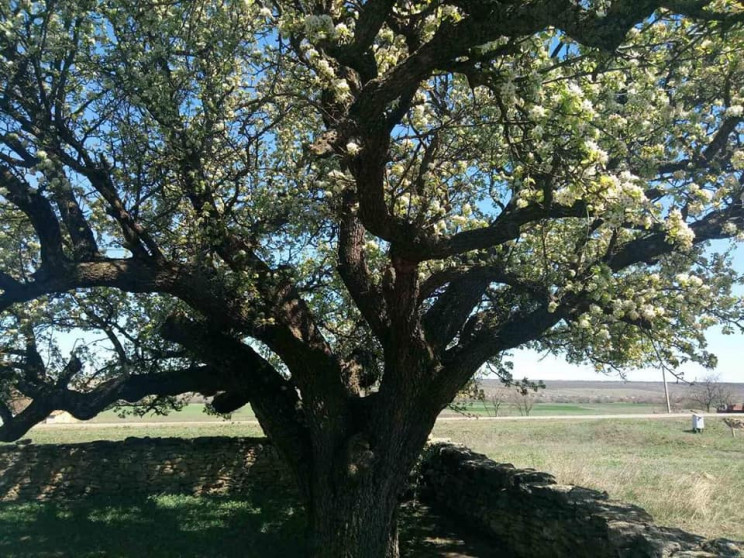На Одесxине цветет 400-летняя груша…
