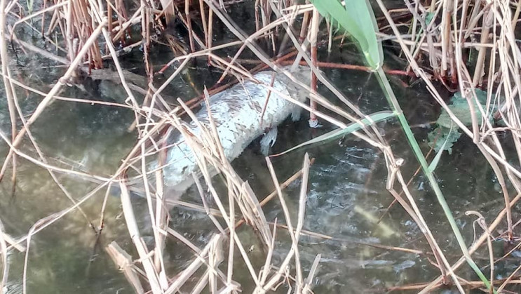 У Дніпрі у річці виявили мор риби…