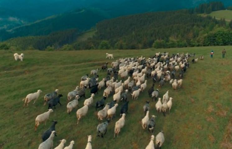 Закарпатці провели овець на полонину…