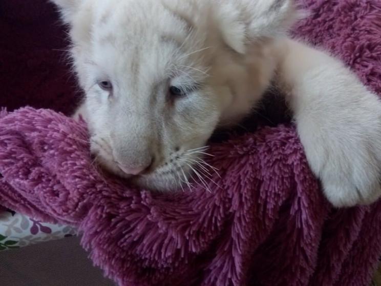 Імена білим тигренятам, що народилися у…