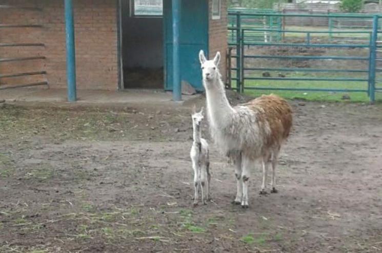 У Подільському зоопарку народилося ламен…