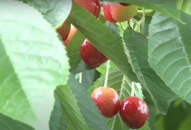 У садах закарпатців доспіли черешні…