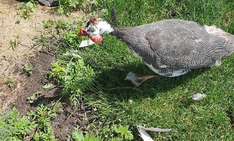 В Днепре лисы уничтожают цесарок и фазан…