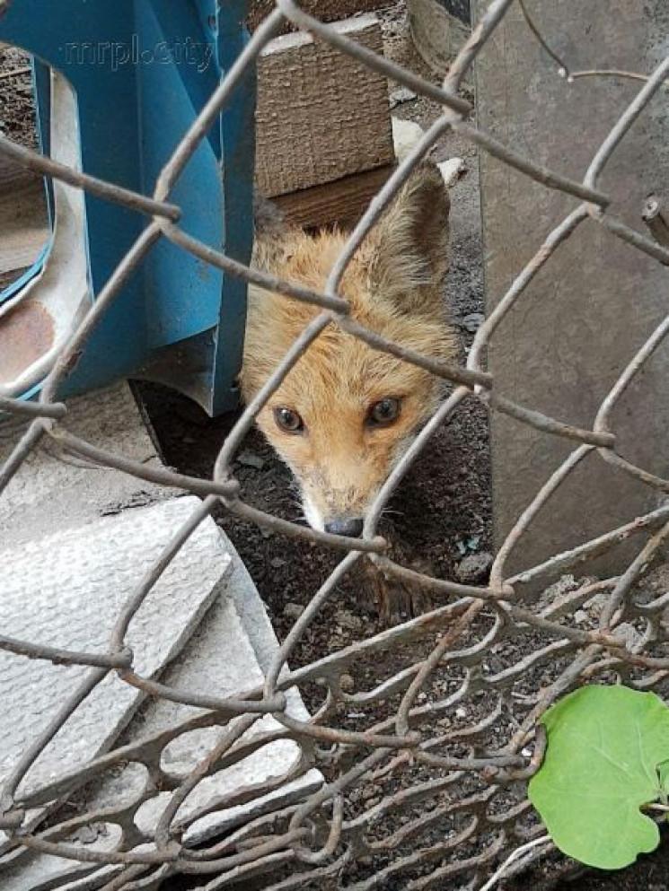 В Маріуполі врятували лисеня, яке вирвал…