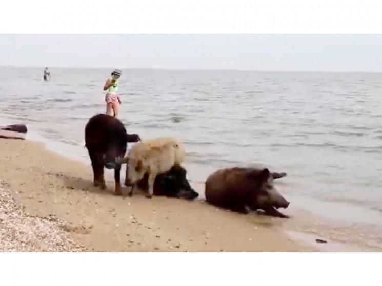 Біля Маріуполя кудлаті свині тікають від…