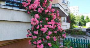 Як Львів тоне у різнокольорових трояндах…