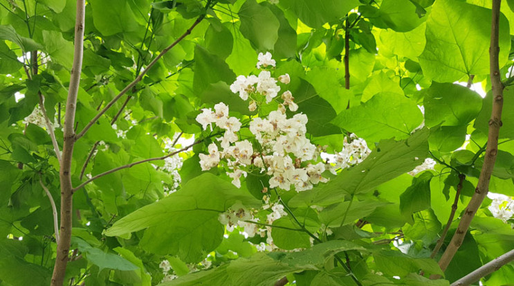 Як Мукачево квітне катальпами…