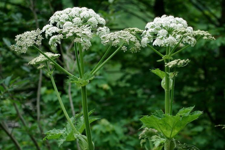 На Закарпатті рясно цвіте небезпечний бо…
