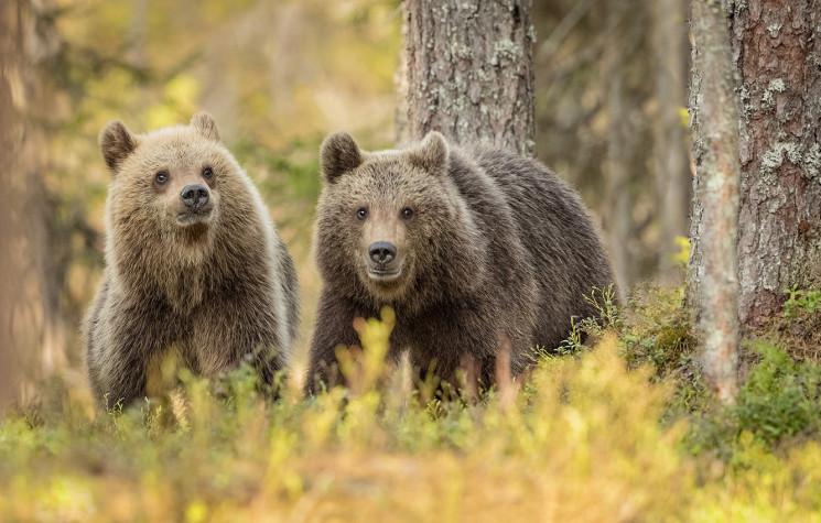 На Росії ведмеді розірвали 11-річного хл…