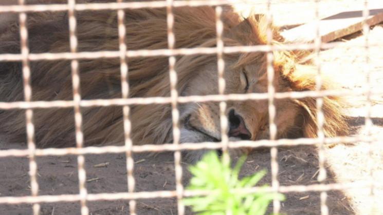 Ведмедям і левам із запорізького притулк…