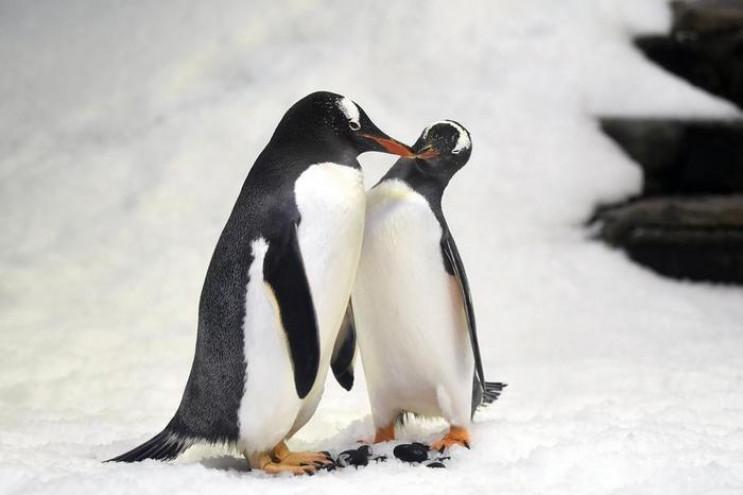 Вчені прогнозують швидке зникнення пінгв…