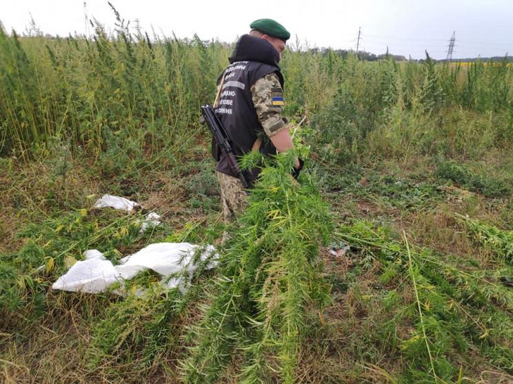 Конопляная жатва — в Донецкой области об…