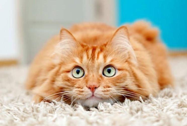 Вчені розділили власників котів на п'ять…