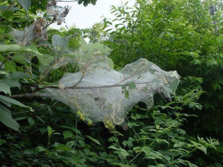 У Запорізькій області шкідник вразив ліс…