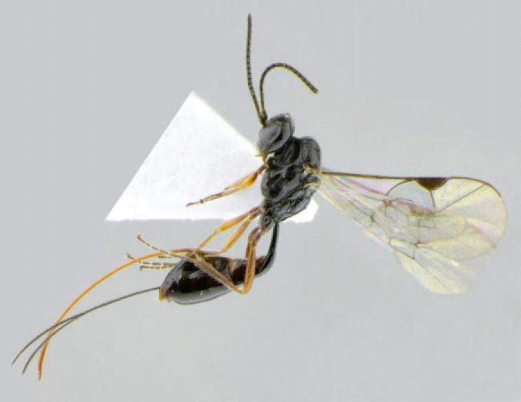 COVID - так називається один з видів оси…