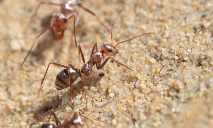 Исследование: Что придало силы муравьям…