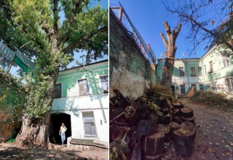 Найтовща тополя України: В Одесі скалічи…