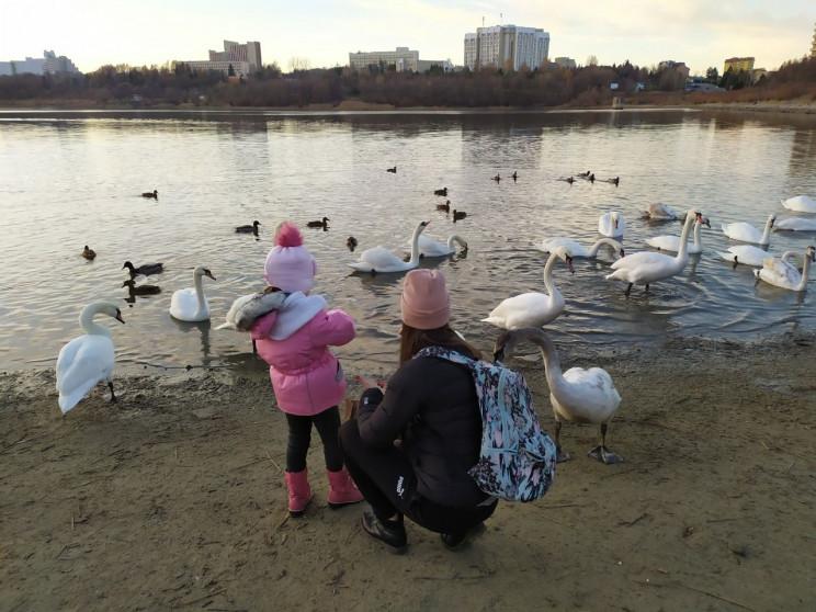 Как в Трускавце на озере отдыхают лебеди…