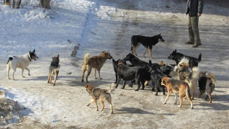 У Рівному люті пси тероризують місцевих…