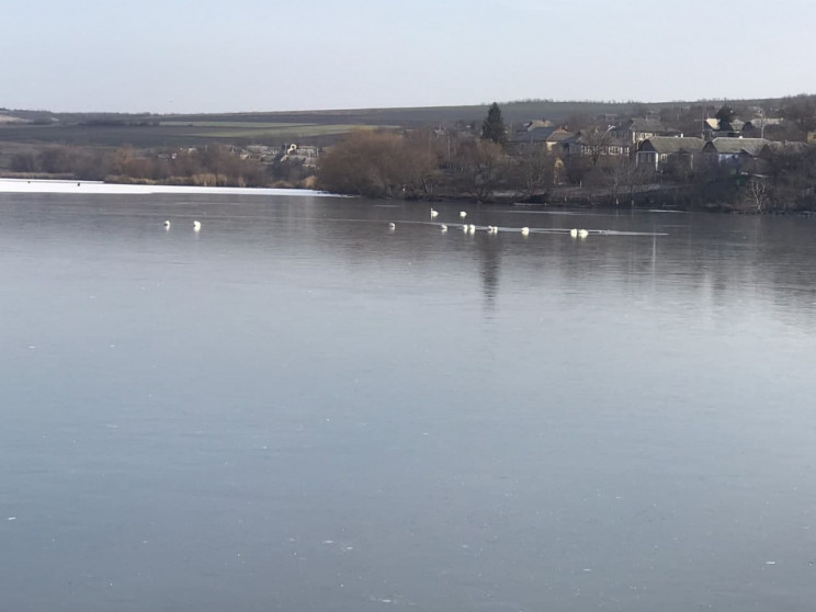 В Одесской области стая лебедей попала в…