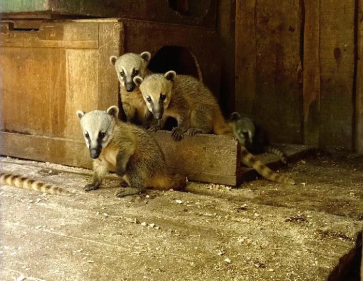 В Одеському зоопаркуу носух з'явилися м…