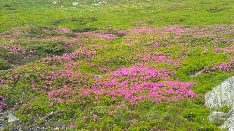 """На высокогорье Карпат цветет """"червона ру…"""
