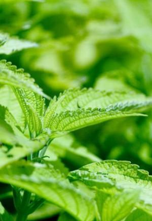 Прикмети 11 липня: Яка рослина цього дня…
