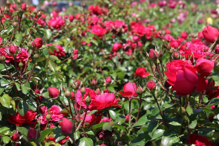 Під Вінницею розквітло трояндове поле…