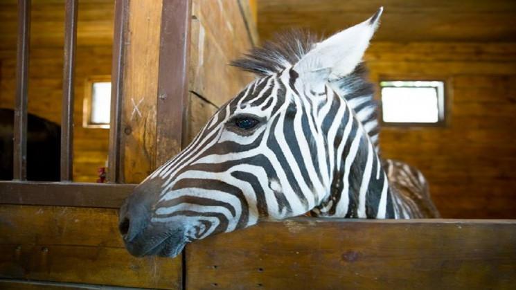 У Харкові з екопарку втекла зебра…