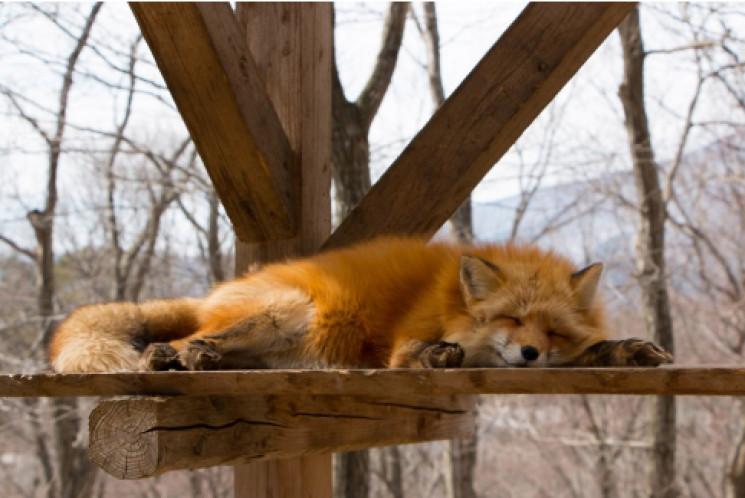 Селище лисиць: Як шість видів рудих обжи…