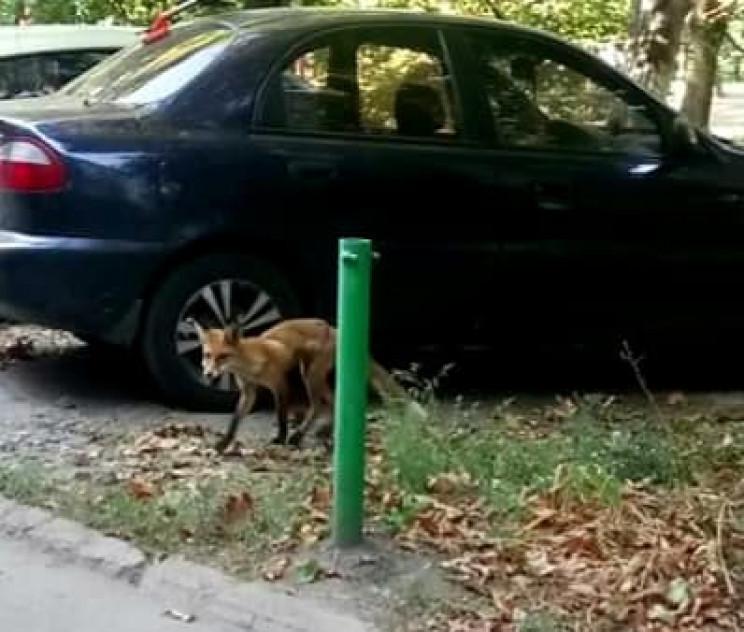 Через хвору на сказ лисицю у Миргороді о…