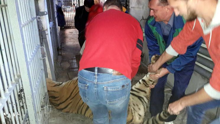 Одеський зоопарк отримав у подарунок тиг…