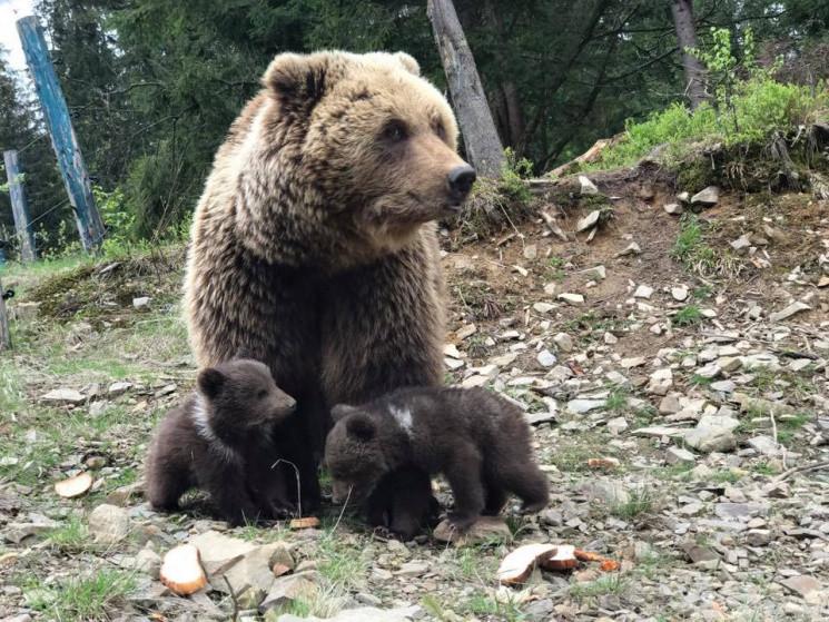 Реабілітаційний центр бурих ведмедів у Синевирі розширює територію – новини України Depo.ua