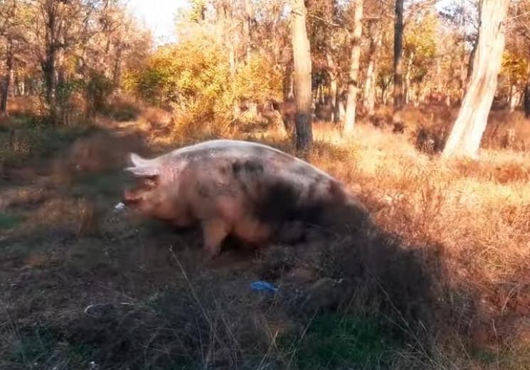 Чим жила Україна: Свиня на сонці, алмазн…
